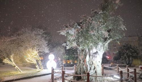 600 yıllık zeytin ağacı, kartpostal görüntüsünde